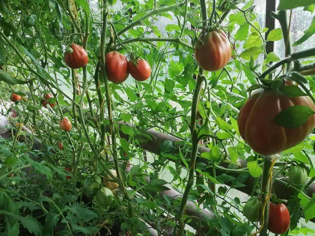 Когда собирать помидоры дома