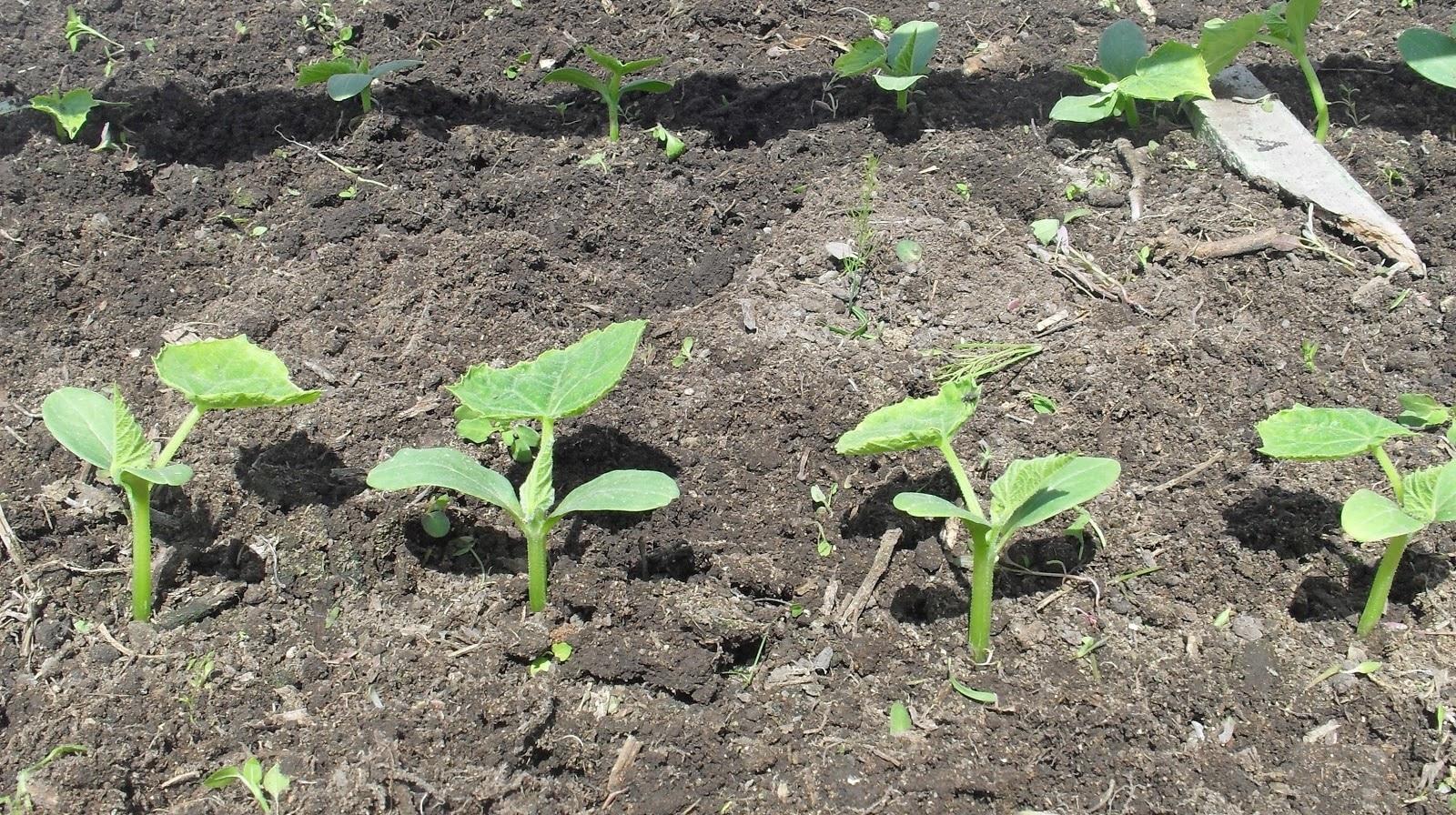 Как посадить огурцы