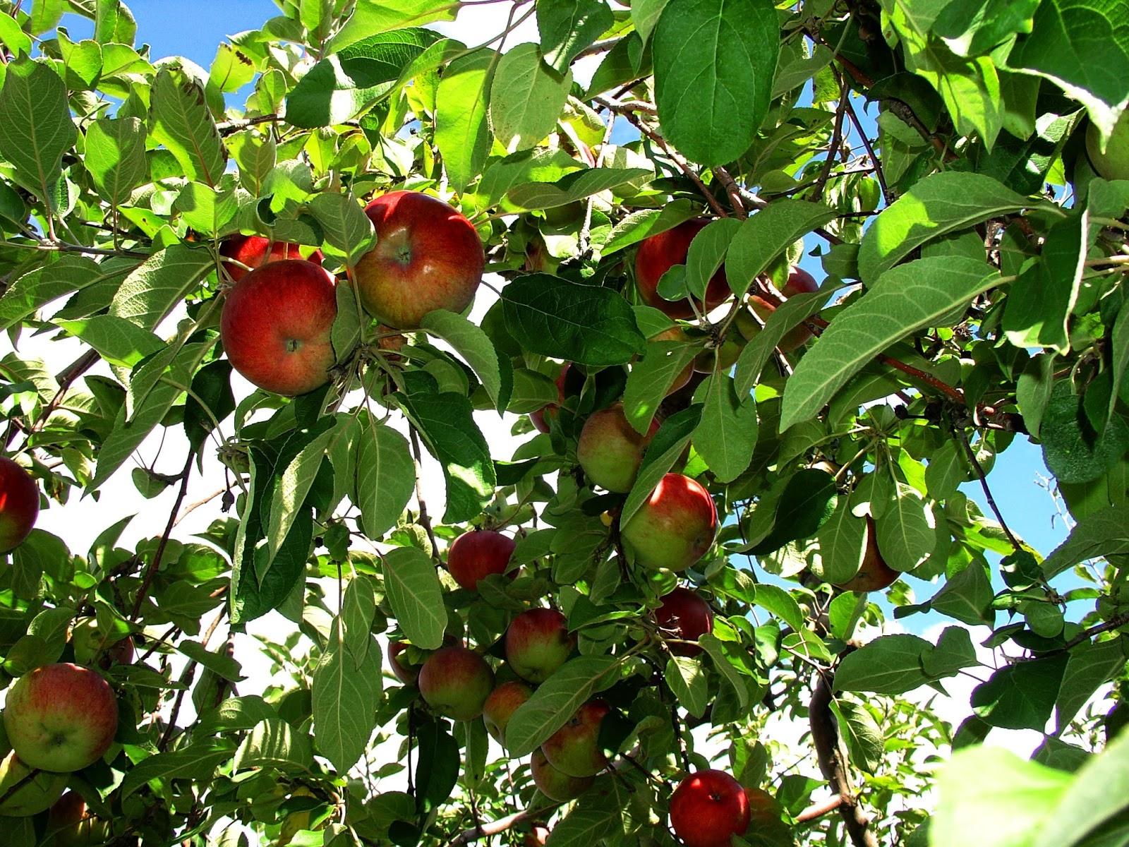 Когда собирать яблоки