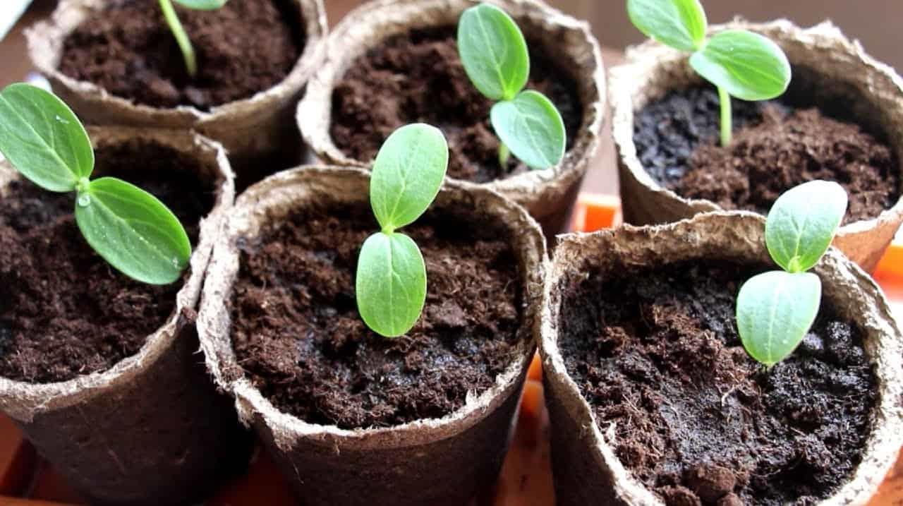 посадить огурцы
