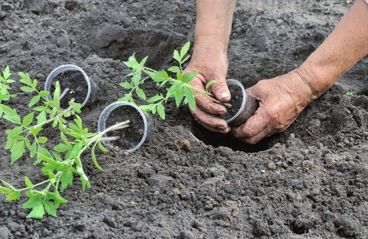 посадить помидоры