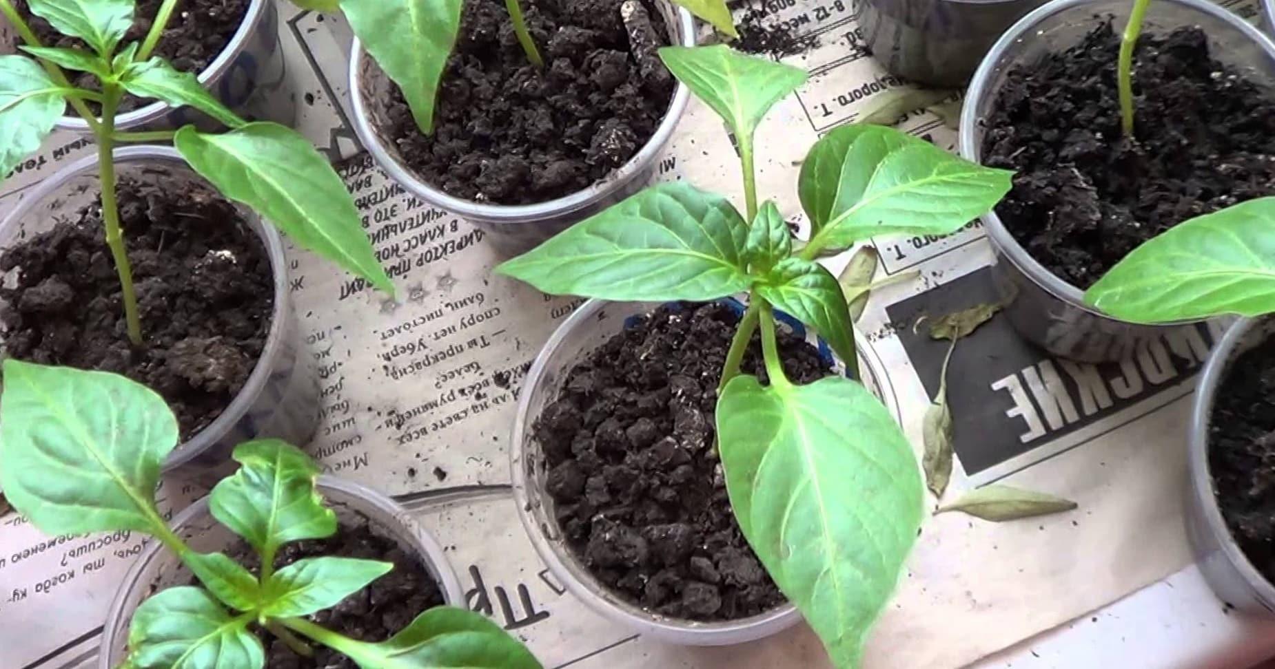 Как посадить перцы