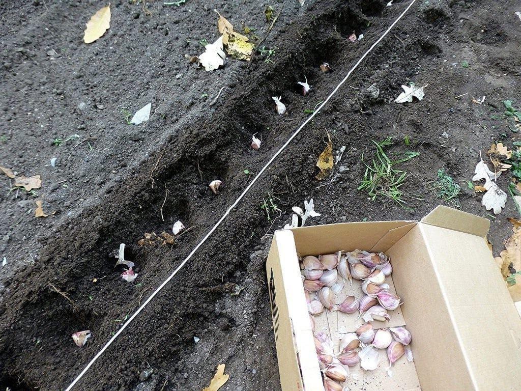 Посадить чеснок