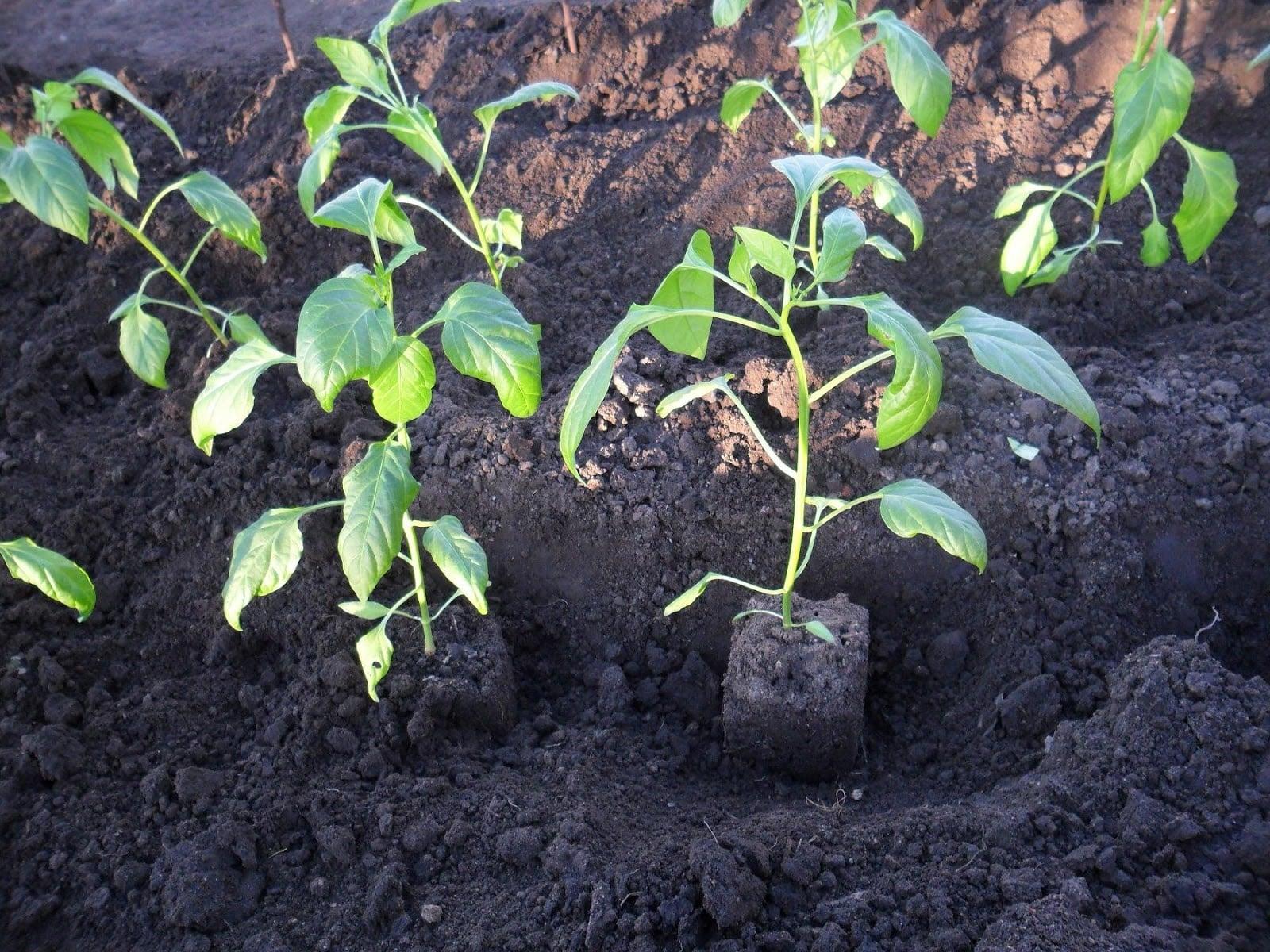 посадить перцы
