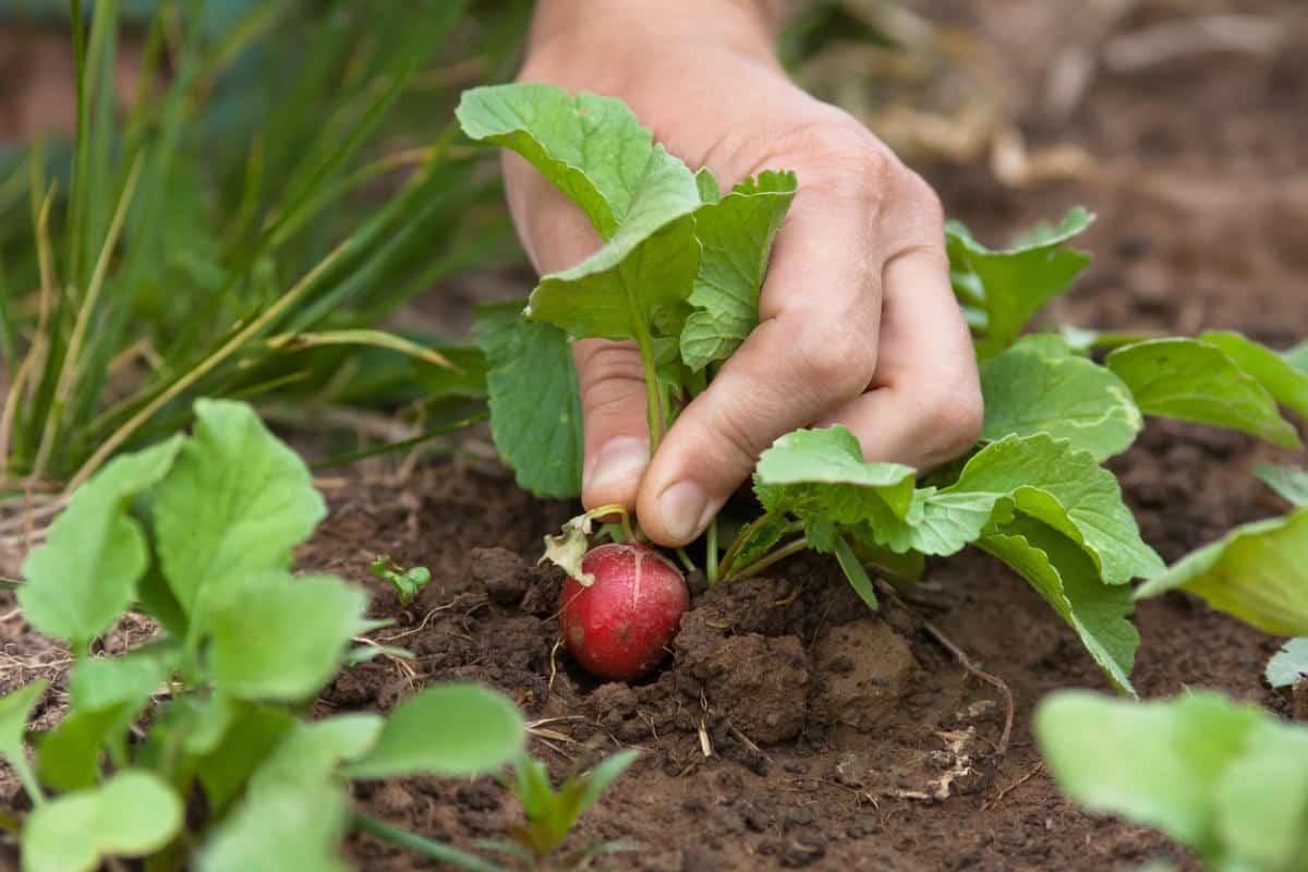 Посадить редис