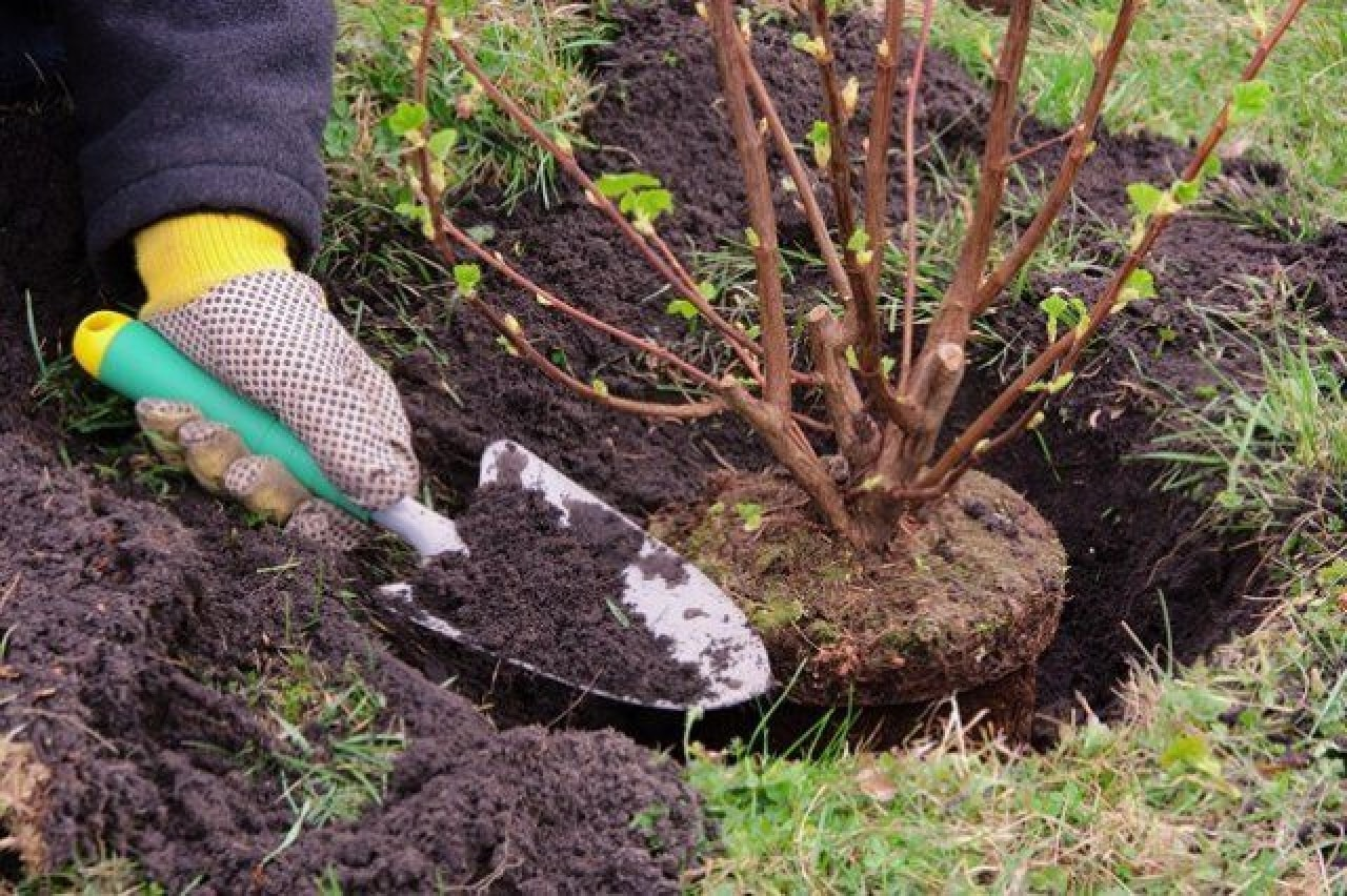 Посадить смородину