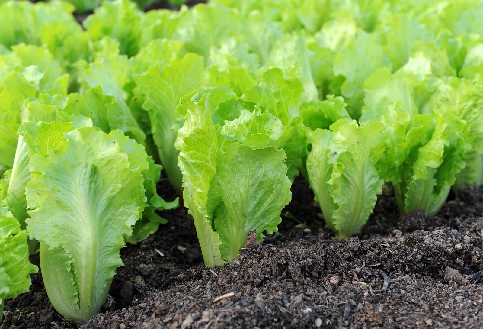 Сажать салат
