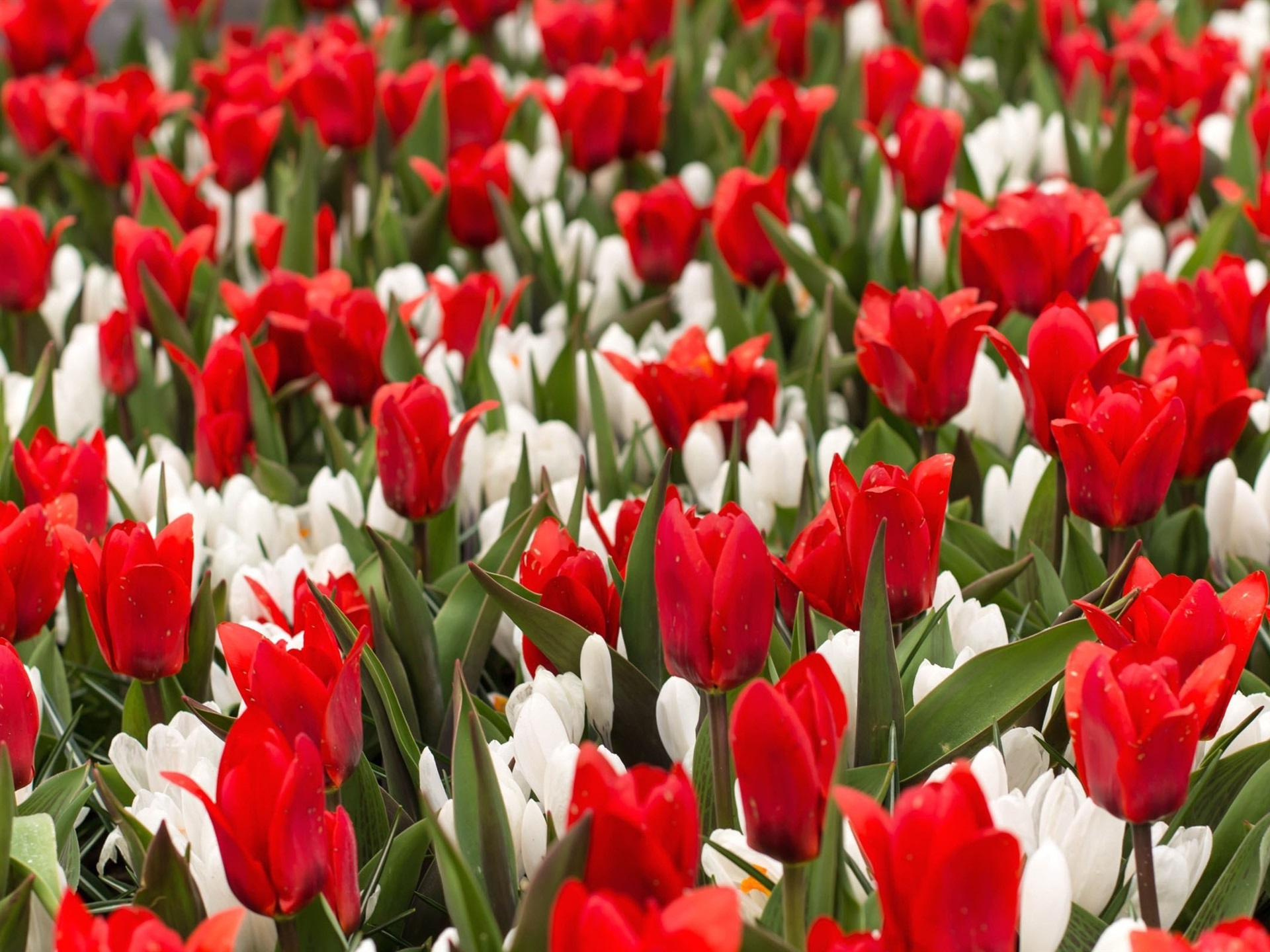 Классификация тюльпанов