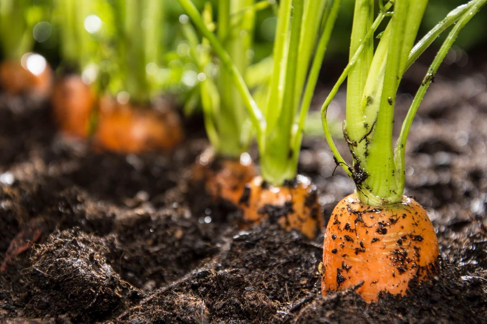 Посадить морковь