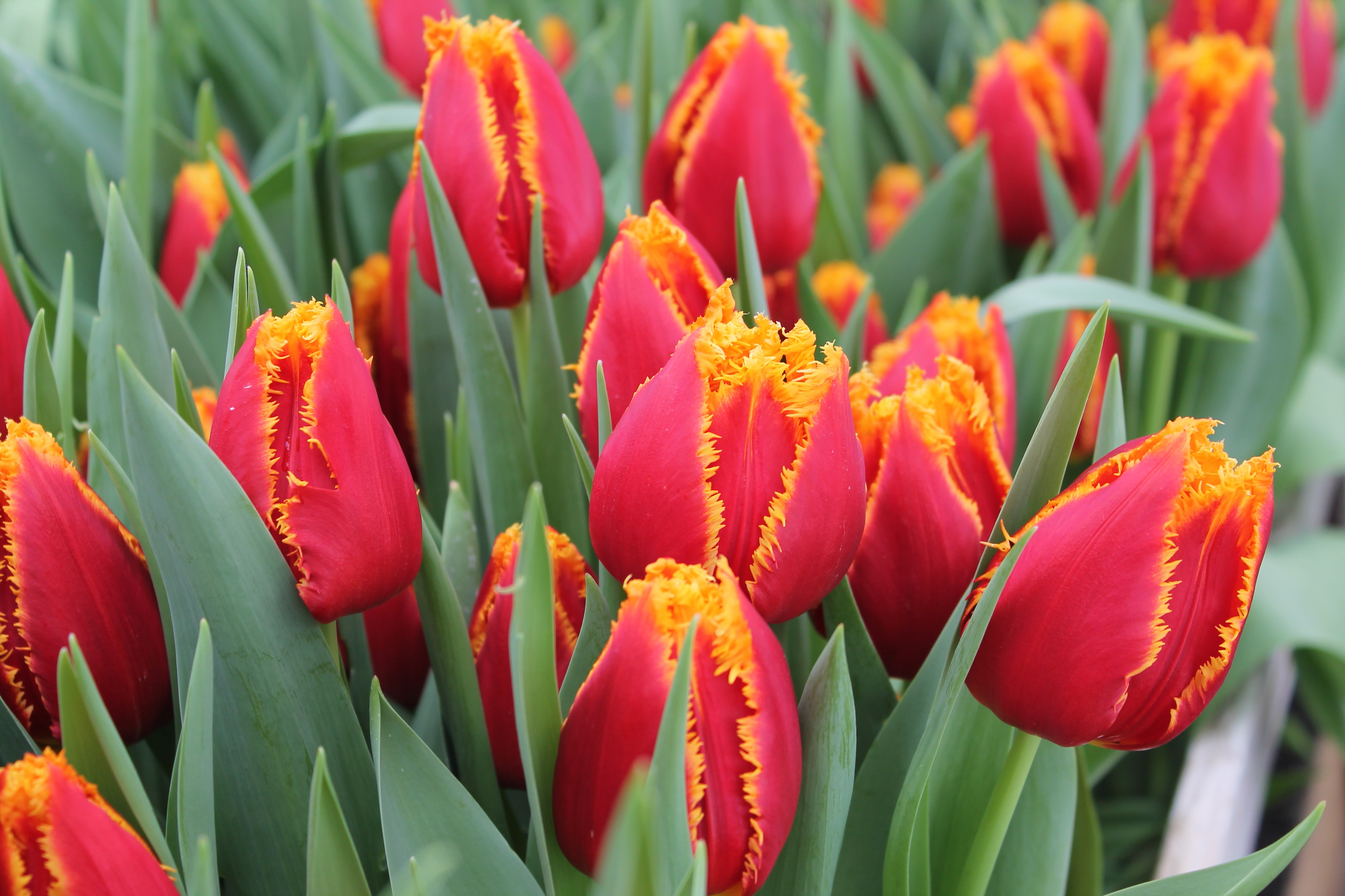 Ранние тюльпаны