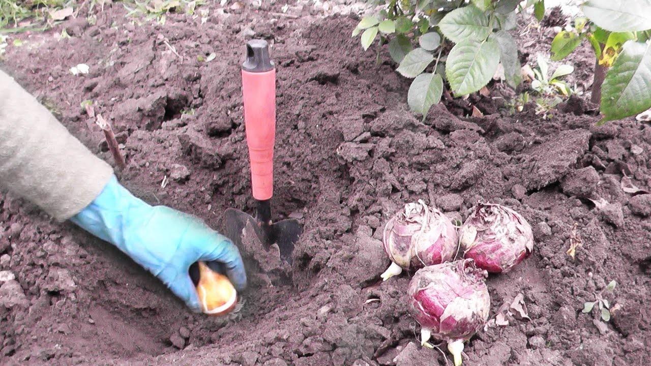 Как посадить тюльпан