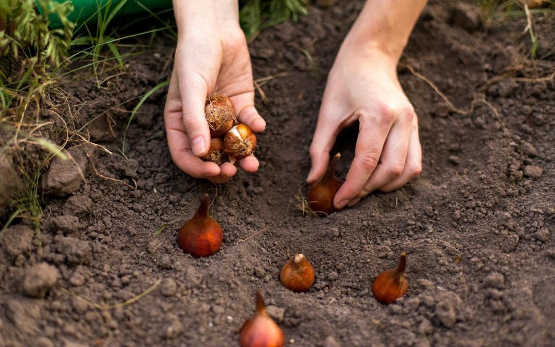 Посадить тюльпан