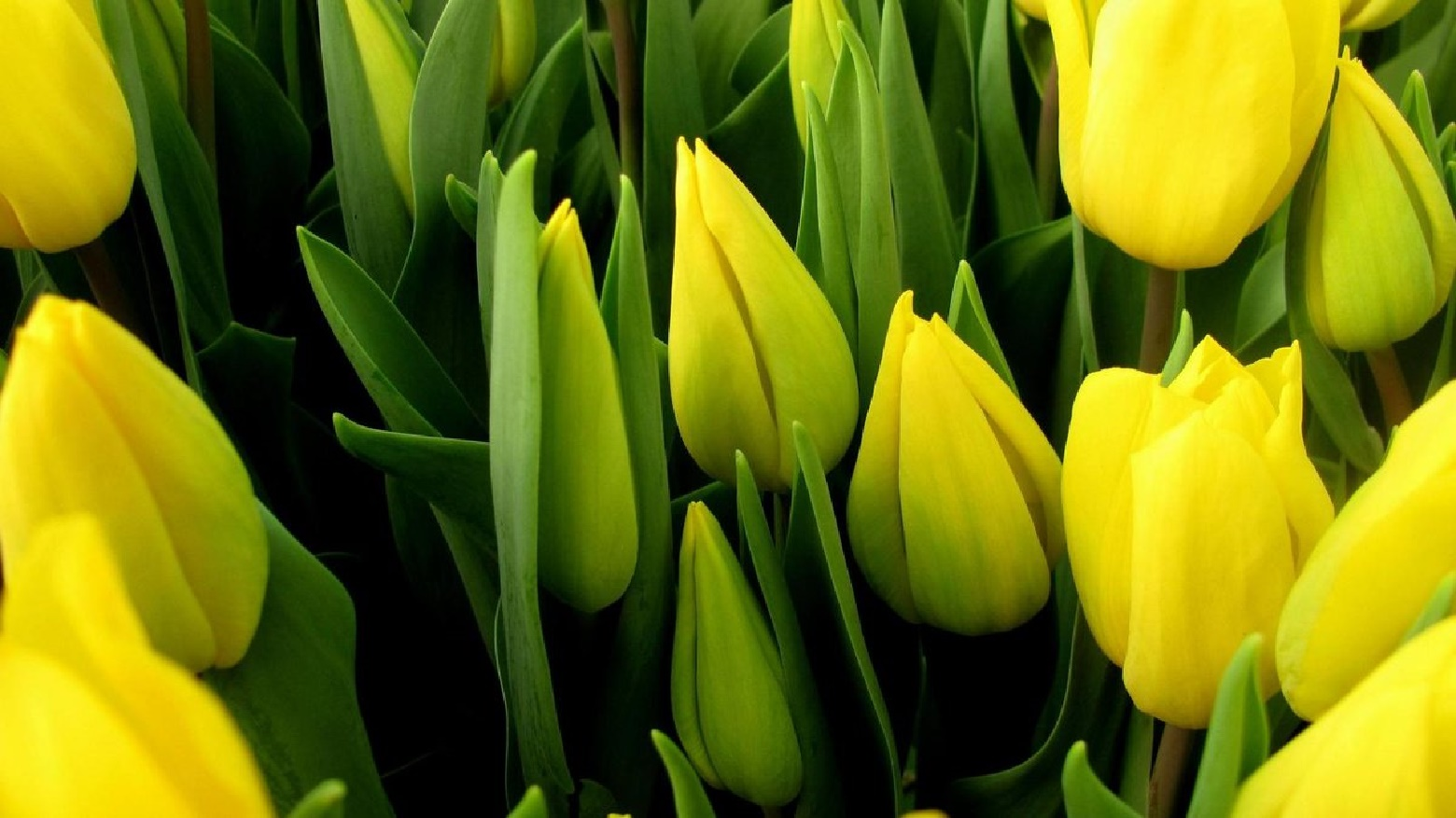 Сажать тюльпаны
